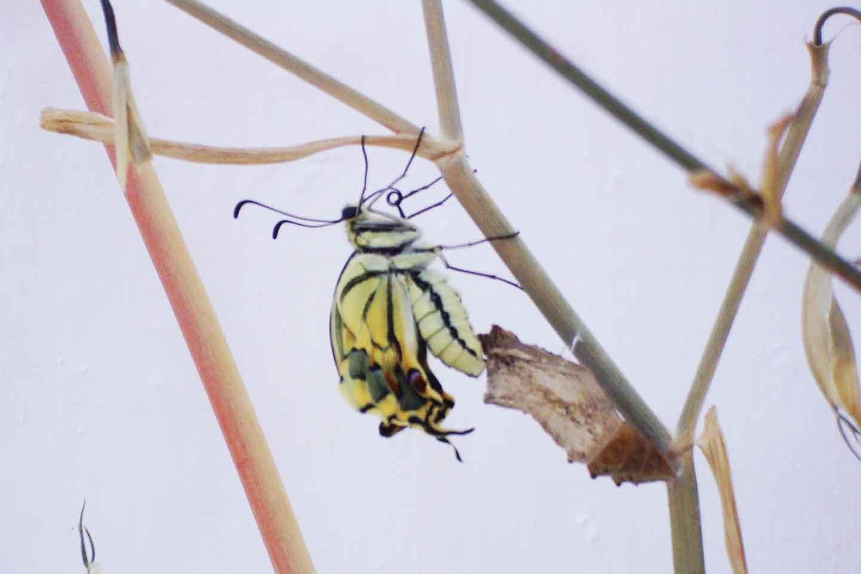 Butterflies refilling 1999